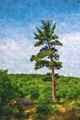 Water color rendition of a pine standing tall at Little Round Top, Gettysburg Battlefield, Gettysburg, Pennsylvania.