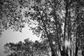trees&white