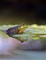 Three eyed frog