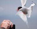 Arctic Tern not quite posing