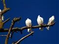 Three White Pigeons