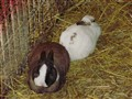 Brown and white, white and brown rabbits