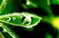 Green dew.
