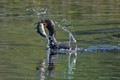 Cormorant with a trout