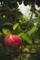 Taken at Applecrest Farm Orchards in Hampton Falls, New Hampshire.