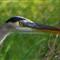 5088 Heron sharpened -- 1level unsharp mask -- head crop