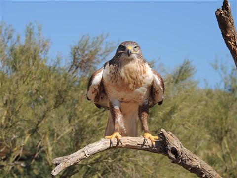 Ferruginous Hawk at the Arizona Sonoran Desert Museum