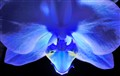 _Blue orchid