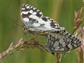 Sex and the Marbled White