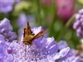 Skipper Butterfly - 2nd Version