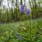 Bluebells at Scotney Estate