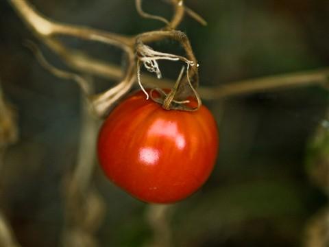 Last-Tomato
