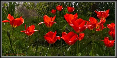 K10D-0677_Tulips