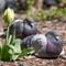 Spring Pigeons in NYC