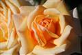 Loren's Rose