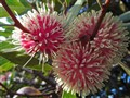 Three Hakea Flowers