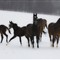 horses in the snow1