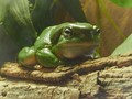 Frogs are green...