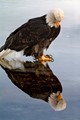 eagle reflecting