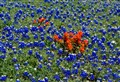 Bluebonnets in Texas
