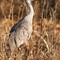 Sandhill-Crane-Feeding