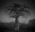Zimbabwean Baobab