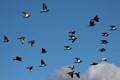 Flight of pigeons 2