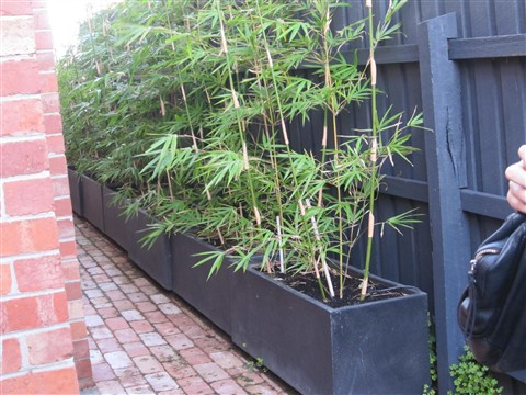 Bamboo Pots For Privacy