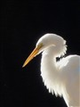 Snowy Egret in Late Afternoon