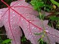 Fallen Leaf, After Rain