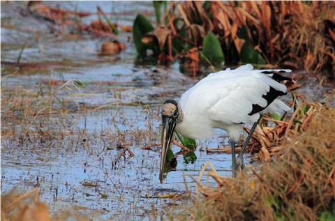 Wood Stork - Fishing