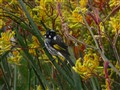 New Holland honeyeater in Kangaroo Paw