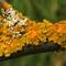 Lichens on a Branch