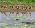 Croc and Ducks