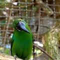Toucan @ San Diego Zoo