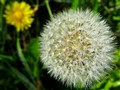 Dandelion, Flower and Dew