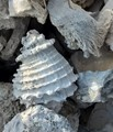 Ground excavation in Florida. Shells frozen as stone. Image taken in color. Shells all grey. Excavation eventually rolled down for trail road.