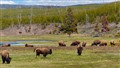 A heard of American bison