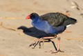 Swamphen crossing road_168A5862