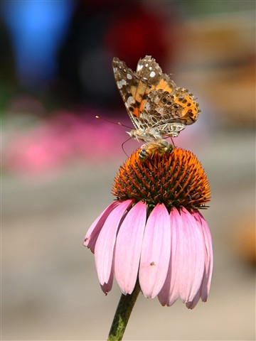 Butterfly, Bee and flower