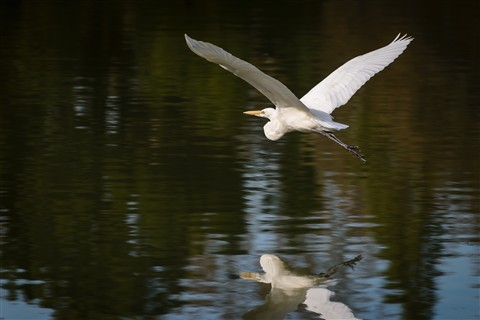 White Heron 4