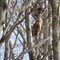 Red-Tailed Hawk (Juvenile?) (cropped)