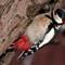 woodpecker15