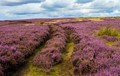 Heather on the moor