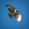 Hungry Red-Tailed Hawk