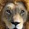 Eyes of the Lion 4