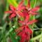 Wild Fresias (Pinks)_P2096879-Edit