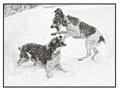 Chase and Joy play-fighting in a snow storm