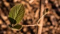 leafbud