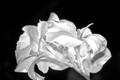 Flowers_B&W
